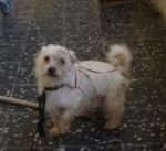 Cão, cruzado de Caniche, com cerca de 1 ano