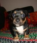 Matteus - Cão, com cerca de 1 mês, porte pequeno