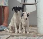 Patife e Pirata - cães com cerca de 3 meses, porte médio