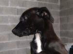 Sammy - cadela com 3,5 meses, porte médio/pequeno.